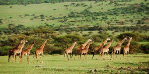 girafe tanzania safaris